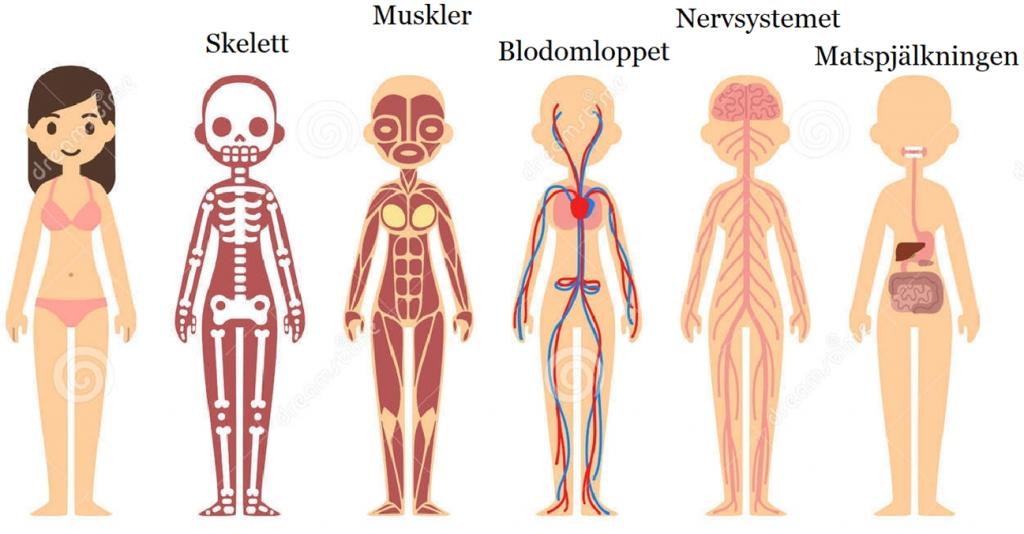 kroppens organsystemer