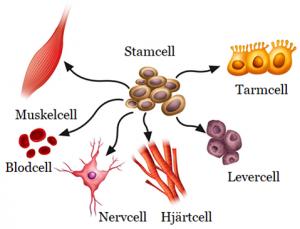 kroppens minsta cell