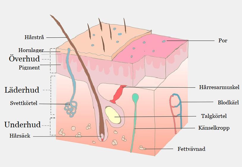 hudens tre lager