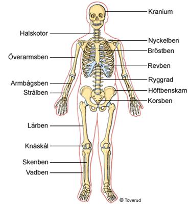 alla organ i kroppen