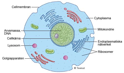 hur många celler i kroppen